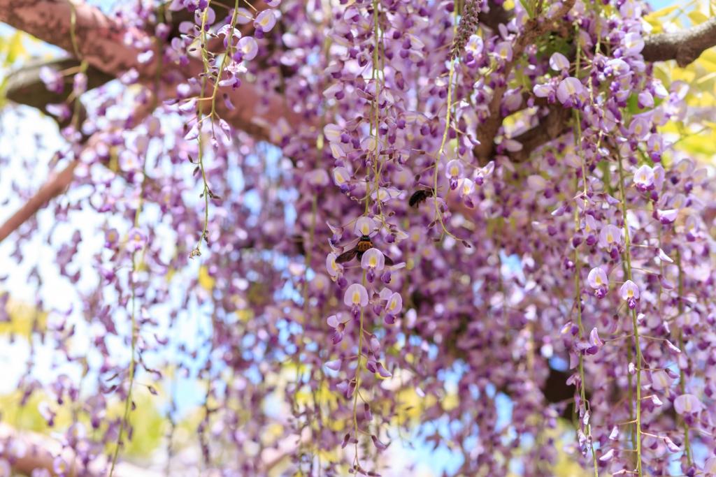 金亀山三学院の藤の周りを飛び回る蜂
